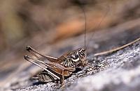 Anterastes serbicus, Männchen, Anterastes petkovskii, Serbian Pygmy Bush-cricket, Serbian Pygmy Bush cricket, male