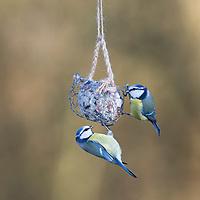 """Blaumeise, Blau-Meise, Meise, Meisen, Cyanistes caeruleus, Parus caeruleus, blue tit, La Mésange bleue. Knödelschaukel, Knödel-Körbchen, Meisenknödel-Schaukel, Halterung basteln für Meisenknödel aus Maschendraht, Kaninchendraht und Schnur. Schritt 5: fertige Knödelschaukel, Knödel-Körbchen. Selbstgemachte Fettfuttermischung, Fettfutter aus Kokosfett, Sonnenblumenkernen, Erdnussbruch, Körnermix, Körnermischung, Sonnenblumenöl, Vogelfutter selbst herstellen, Vogelfutter selber machen, Vogelfutter selbermachen, Vogelfütterung, Fütterung, bird's feeding, """"upcycling, Wiederverwertung"""""""