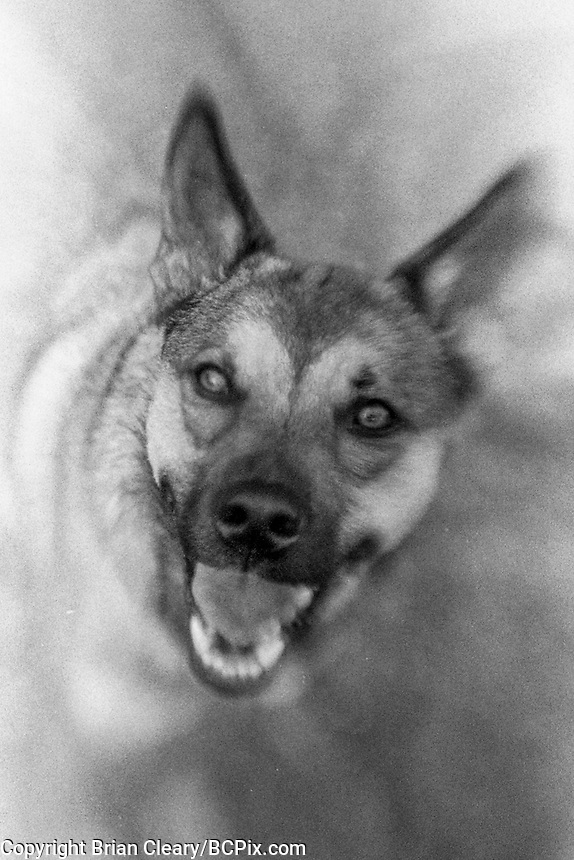 Argo the Dog, Lens Baby Compoer, Canon EOS 650, 35mm SLR film camera, August 2018.  (Photo by Brian Cleary/www.bcpix.com)
