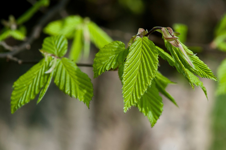 Common hornbeam (Carpinus betulus), spring foliage, early April.