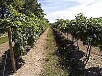 Vineyards Cognac Charente region of France Europe. .©shoutpictures.com..john@shoutpictures.com