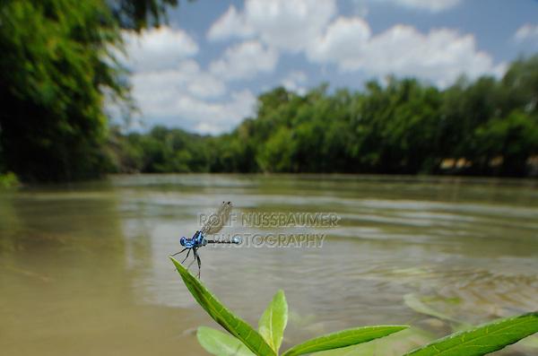 Blue-ringed Dancer (Argia sedula), Damselfly in Colorado River, McKinney Roughs Park, Bastrop County, Central Texas, USA