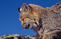 BOBCAT is found only in North America. Male seen here is swallowing a deer mouse. Summer. Rocky Mountains. (Felis rufus).
