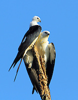 Swallow-tailed kites, juvenile settled in now. Juvy looks big compared to Adult.