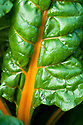 Yellow-stemmed Swiss Chard 'Bright Lights', late September.