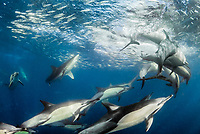 long-beaked common dolphins, Delphinus capensis, attacking and feeding on a baitball of Southern African pilchard, Sardinops sagax ocellatus, East London, South Africa