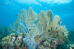 Bonaire, Netherlands Antilles; a large, damaged sea fan sits atop the colorful coral reef with blue water and Brown Chromis fish in the background , Copyright © Matthew Meier, matthewmeierphoto.com All Rights Reserved