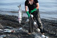 Sasha Andrews picks sockeye salmon out of a gillnet in Ekuk, Alaska on the Nushagak River in Bristol Bay on July 5, 2019. (Photo by Karen Ducey)