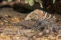 Spiny-tailed Iguana; Ctenosaura similis; Costa Rica, Santa, copulating; Rosa NP