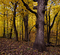 A huge Maple tree gives scale to an autumn forest, Hammel Woods Forest Preserve, Will County, Illinois