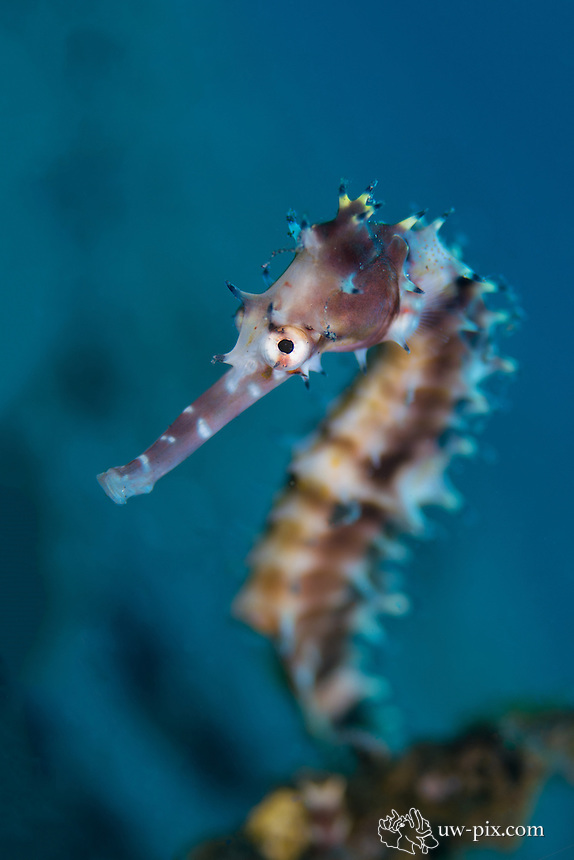 Thorny /Spiny seahorse (Hippocampus histrix) portrait in Lembeh Strait / Indonesia