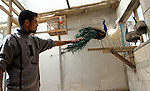 A man touches peacock tail at a local breeding farm in Khan Younis in the southern Gaza Strip, May 5, 2015. Male peacocks display and shake its tail feather to attract attention to female peahens during courtship. Photo by Abed Rahim Khatib