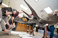 MSU Department of Geosciences faculty members and student worker Frank McCollins work together to move a replica Triceratops skull at the Dunn-Seiler Geology Museum. Pictured, from left to right, are museum director Renee Clary, Geosciences Instructor Amy Moe-Hoffman, McCollins and Geosciences Department Head Bill Cooke. The Triceratops skull will be on display during this Wednesday's [Oct. 12] Fossil Extravaganza. This year, the Department of Geosciences will mark its 100th anniversary with a series of events and celebrations.<br />