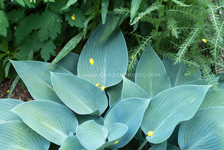 Hosta 'Hadspen Blue' foliage