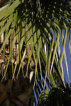 Palm fronds, Tenerife.