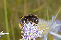Buff-tailed Bumblebee - Bombus terrestris - queen.