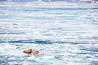 Atlantic walrus, Odobenus rosmarus rosmarus, hauled out on ice, Hinlopen Strait, Svalbard, Norway, Atlantic Ocean