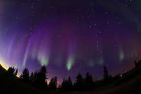 Northern lights (Aurora borealis) and spruce trees<br /> Birds Hill Provincial Park<br /> Manitoba<br /> Canada