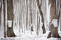 Maple sugar bush in Northern Ontario.
