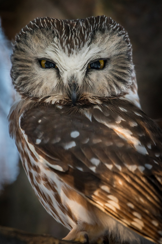 Male Saw-Whet Owl near the nest box. Photo by James R. Evans.