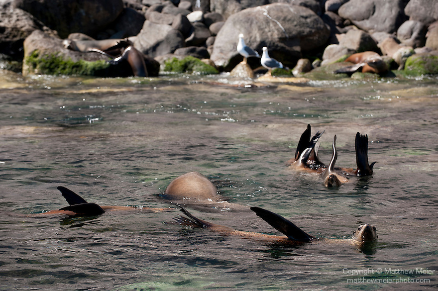 Sea of Cortez, Baja California, Mexico; a raft of California Sea Lions floating on the surface while extending their flippers out of the water to regulate body temperature