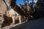 Mountain Lion (Puma concolor), Abra Granada, Andes, northwestern Argentina