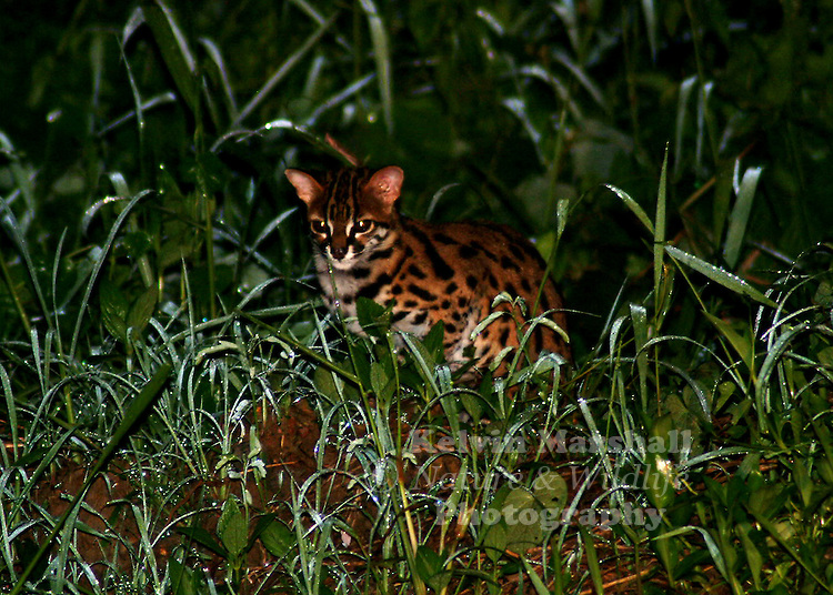 Leopard Cat Prionailurus bengalensis (synonym Felis bengalensis) is the commonest wild cat in Borneo although few people have actually seen it. This is because it is a nocturnal animal that is active only at night and spends the day in a den that may be a hollow tree, a cavity under roots or a small cave. It lives and breeds mainly in forests and secondary jungle, as well as plantations and farms near the jungle feeding on rodents, reptiles, small birds, insects, frogs and even sometimes fish - almost anything that it can catch.