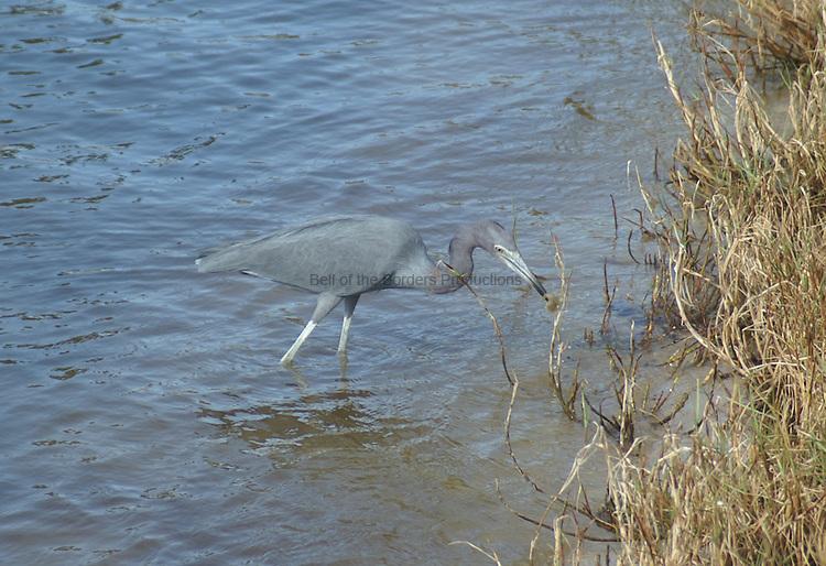 A little blue heron hunting along a shoreline.