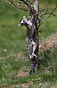 16/05/16<br /> <br /> &quot;This is fun!&quot;<br /> <br /> Three baby ring-tail lemurs began climbing lessons for the first time today. The four-week-old babies, born days apart from one another, were reluctant to leave their mothers&rsquo; backs to start with but after encouragement from their doting parents they were soon scaling rocks and trees in their enclosure. One of the youngsters even swung from a branch one-handed, at Peak Wildlife Park in the Staffordshire Peak District. The lesson was brief and the adorable babies soon returned to their mums for snacks and cuddles in the sunshine.<br /> All Rights Reserved F Stop Press Ltd +44 (0)1335 418365