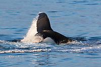 humpback whale, Megaptera novaeangliae, lobtailing to corral capelin, Mallotus villosus, White Island, Svalbard, Norway, Arctic Ocean