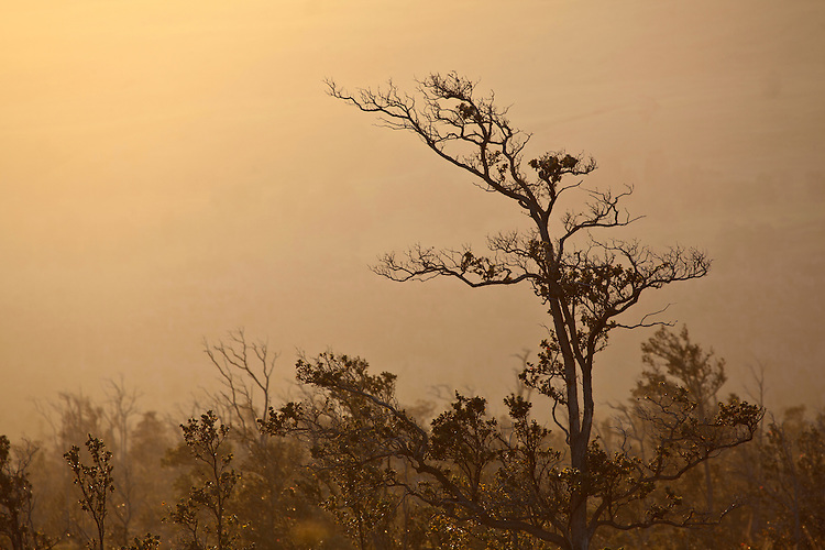 "Tree enveloped in ""vog,"" fog caused by the neighboring volcanic vent in Hawai'i Volcanoes National Park, Hawai'i, USA"