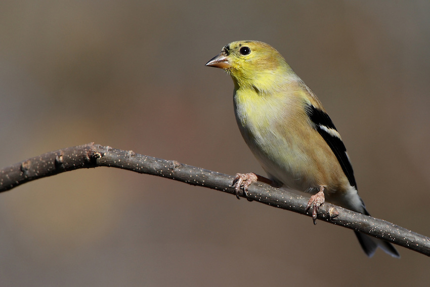 The goldfinch's main natural habitats are weedy fields and floodplains, where plants such as thistles and asters are common.