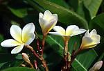 Frangapani Flowers