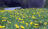 Gorgeous field of yellow hawkweed wildflowers grow near a turning point on the newfound gap road in the great smoky mountain national park, Tennessee, America.