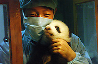 PANDA COMPLEX: CHENGDU: CHINA.Panda nurse Jiao Yu Hang, male, holds panda cub Xiao Jiao.  The specially designed Panda Breeding Complex is a world's first with facilities for upto 12 mothers, a nursery, a breeding rooman artificial insemination facility and quarters for  staff.  the panda's recieve 24 hour supervision..Photo by Richard Jones/SINOPIX.©sinopix
