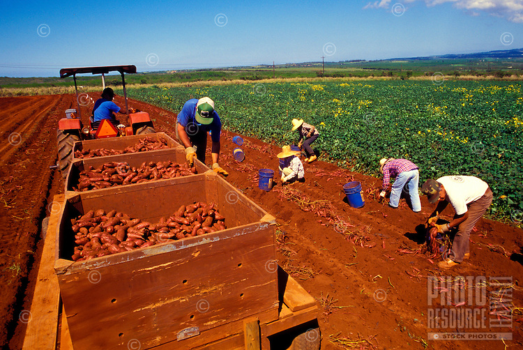 Workers harvesting sweet potatoes on George Mokuau's farm, Island of Molokai