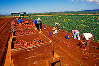 Workers harvesting sweet potatoes on George Mokuau's farm, Island of Molokai