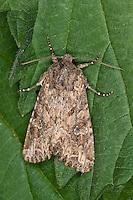 Feldflur-Grasbüscheleule, Grasbüscheleule, Grasbüschel-Eule, Apamea anceps, Parastichtis sordida, Hadena sordida, The Large Nutmeg, Eulenfalter, Noctuidae, noctuid moths