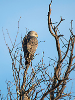 Gray Hawk, Buteo plagiatus, perches in a tree near Patagonia Lake State Park, Arizona