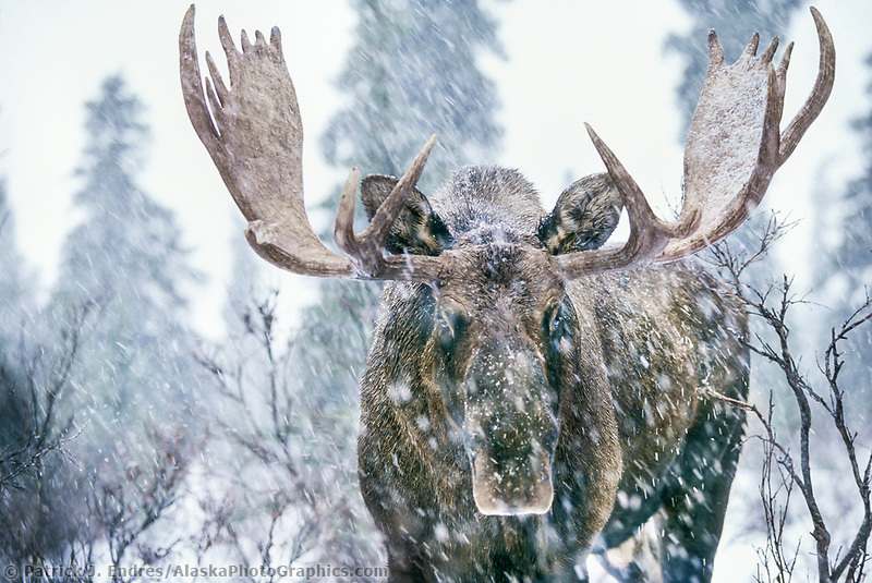 Bull moose in snowstorm in the boreal forest of Denali National Park, Alaska.