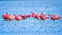 A group of Pink Flamingos sit  in the early morning light waiting for the sun in Torres Del Paine, Patagonian Chile.
