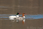 Common Mergansers (Mergus merganser), male and female swimming, Ithaca, New York, USA