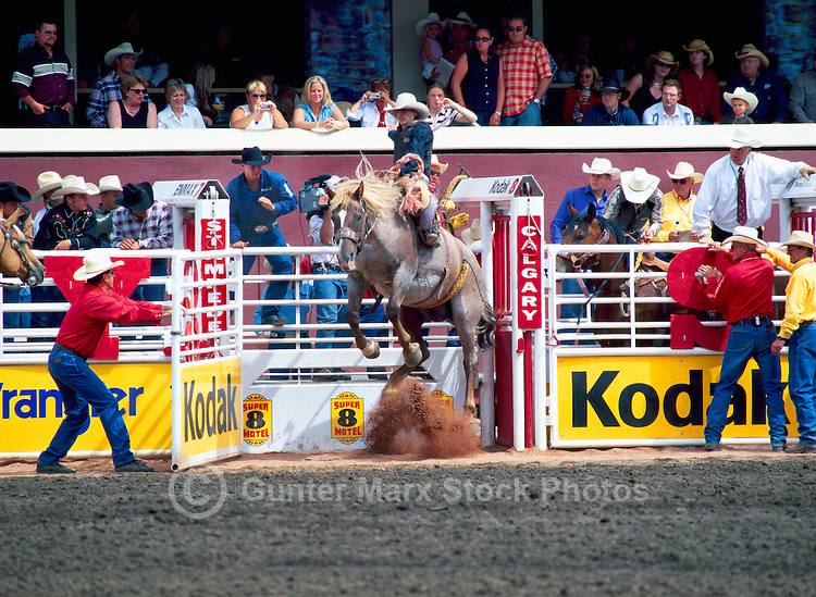 Rodeo Cowboy riding Bucking Horse in Saddle Bronc Riding Event at Calgary Stampede, Calgary, Alberta, Canada - Editorial Use Only