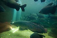 """Pirarucu em aquário<br /> O pirarucu (Arapaima gigas) é um dos maiores peixes de água doce do planeta. Nativo da Amazônia, ele promove benefícios para o ecossistema e comunidades que vivem da pesca. Seu nome vem de dois termos indígenas pira, """"peixe"""", e urucum, """"vermelho"""", devido à cor de sua cauda.Por ser um peixe de grandes dimensões, o comprimento quando adulto costuma variar de dois a três metros, e o peso, de 100 a 200 kg. Possui dois aparelhos respiratórios, as brânquias, para a respiração aquática, e a bexiga natatória modificada, especializada para funcionar como pulmão na respiração aérea.A espécie vive em lagos e rios afluentes, de águas claras, com temperaturas que variam de 24° a 37°C. O pirarucu não é encontrado em lugares com fortes correntezas ou em águas com sedimentos.<br /> <br /> Fonte WWF<br /> <br /> Natal, Rio Grande do Norte, Brasil.<br /> Foto Paulo Santos.<br /> 12/2014"""