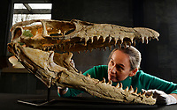 BNPS.co.uk (01202 558833)<br /> Pic: ZacharyCulpin/BNPS<br /> <br /> PICTURED: Kate Diment of Summers Place with a rare large Mosasaurus skull availible for £20,000. Mosasaurus lived about 70 to 65 million years ago during the late Cretaceous period.<br /> <br /> A collection of Jurassic Park-like fossilised amber containing 100 million year old insects has emerged for sale at auction.<br /> <br /> The 12 translucent lumps of the prehistoric resin date back to when dinosaurs walked the earth.<br /> <br /> At least five of the samples hold the perfectly preserved form of insects including a mosquito, a spider, a scorpion and a cockroach.<br /> <br /> In Steven Spielberg's classic 1993 film starring Richard Attenborough dinosaurs are reintroduced to the world by extracting their DNA from a mosquito preserved in amber.