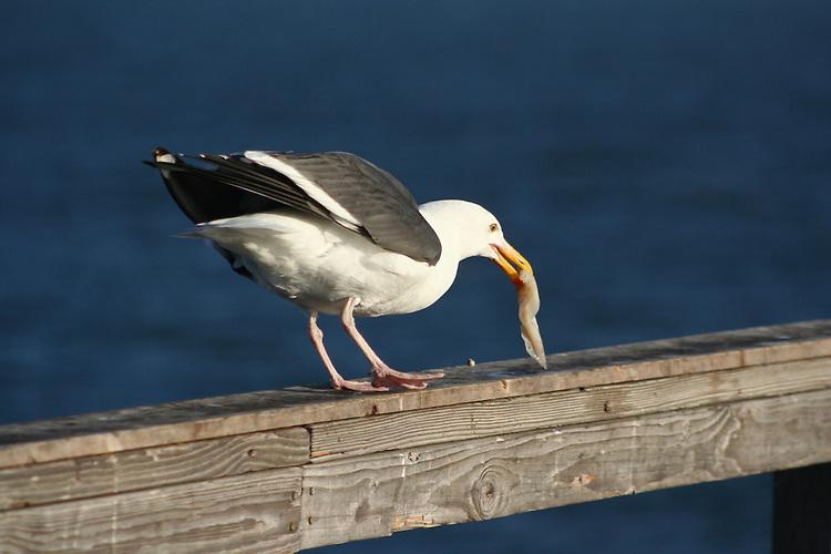 Seagull treat