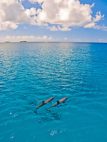 spinner dolphin, Stenella longirostris, Guam, USA, Mariana Islands, Pacific Ocean