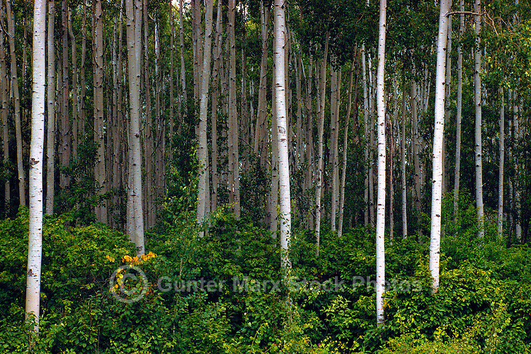 Trembling Aspen Tree (Populus tremuloides) Forest, Cariboo Region, BC, British Columbia, Canada