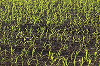 29.5.2020  Maize plants <br /> ©Tim Scrivener Photographer 07850 303986<br />      ....Covering Agriculture In The UK.