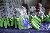 Packing bananas destined for UK stores Tesco and Sainsburys at a packing station on a smallholding in Castle Bruce